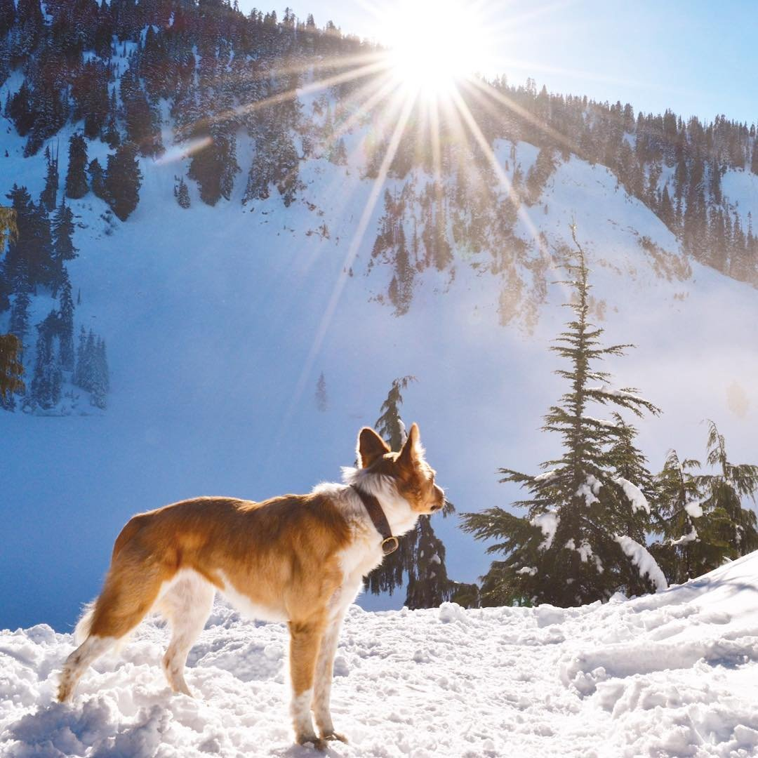 A dog standing in the snow along the Lake Kelcema trail near Bothell, Washington.