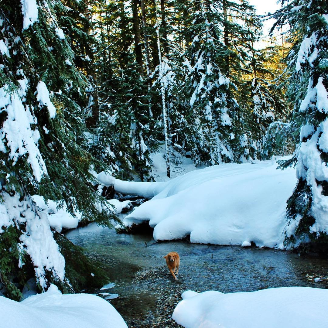 Dog running through the water of Marten Creek near Bothell, Washington.