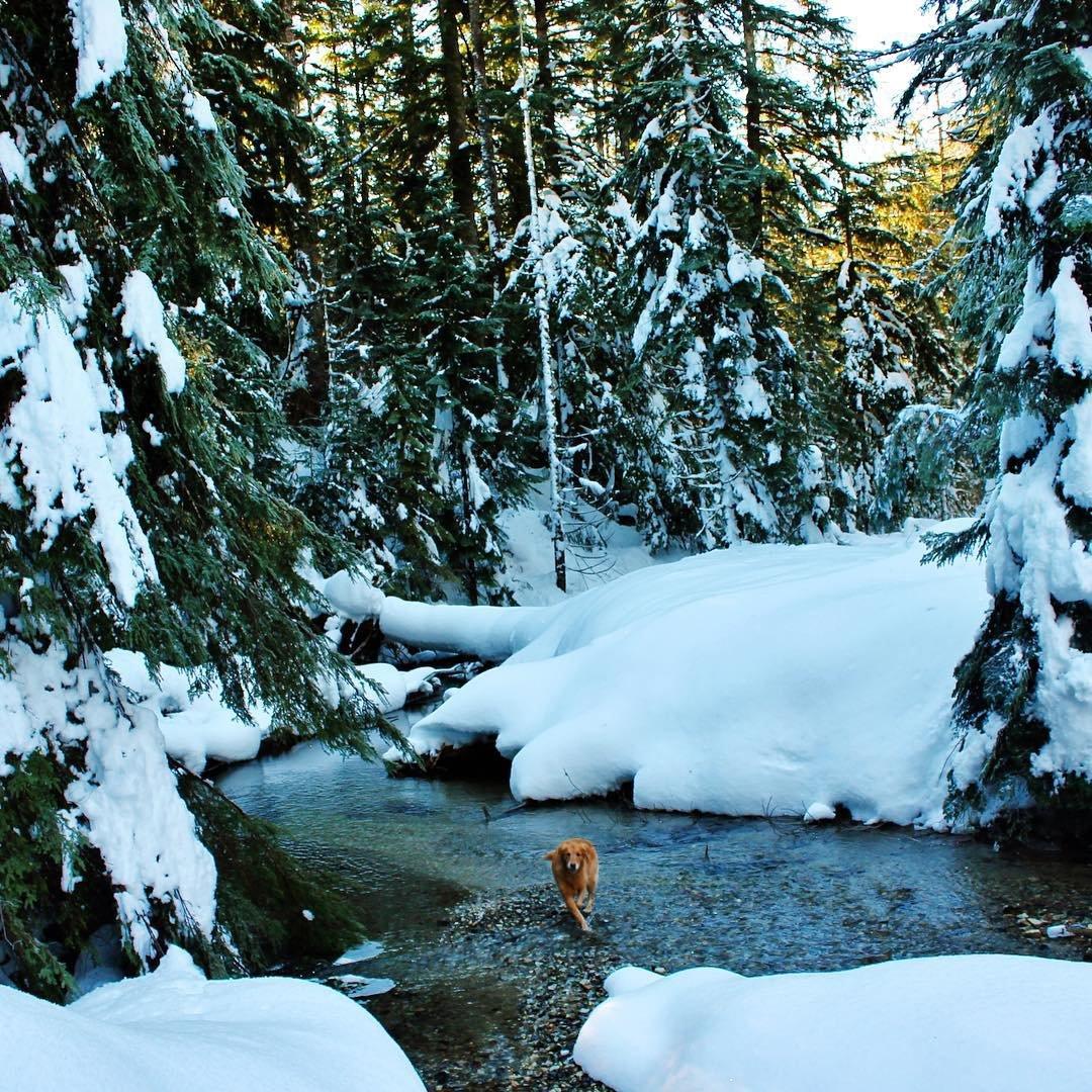 Dog running through the water of Marten Creek near Bothell, Washington.