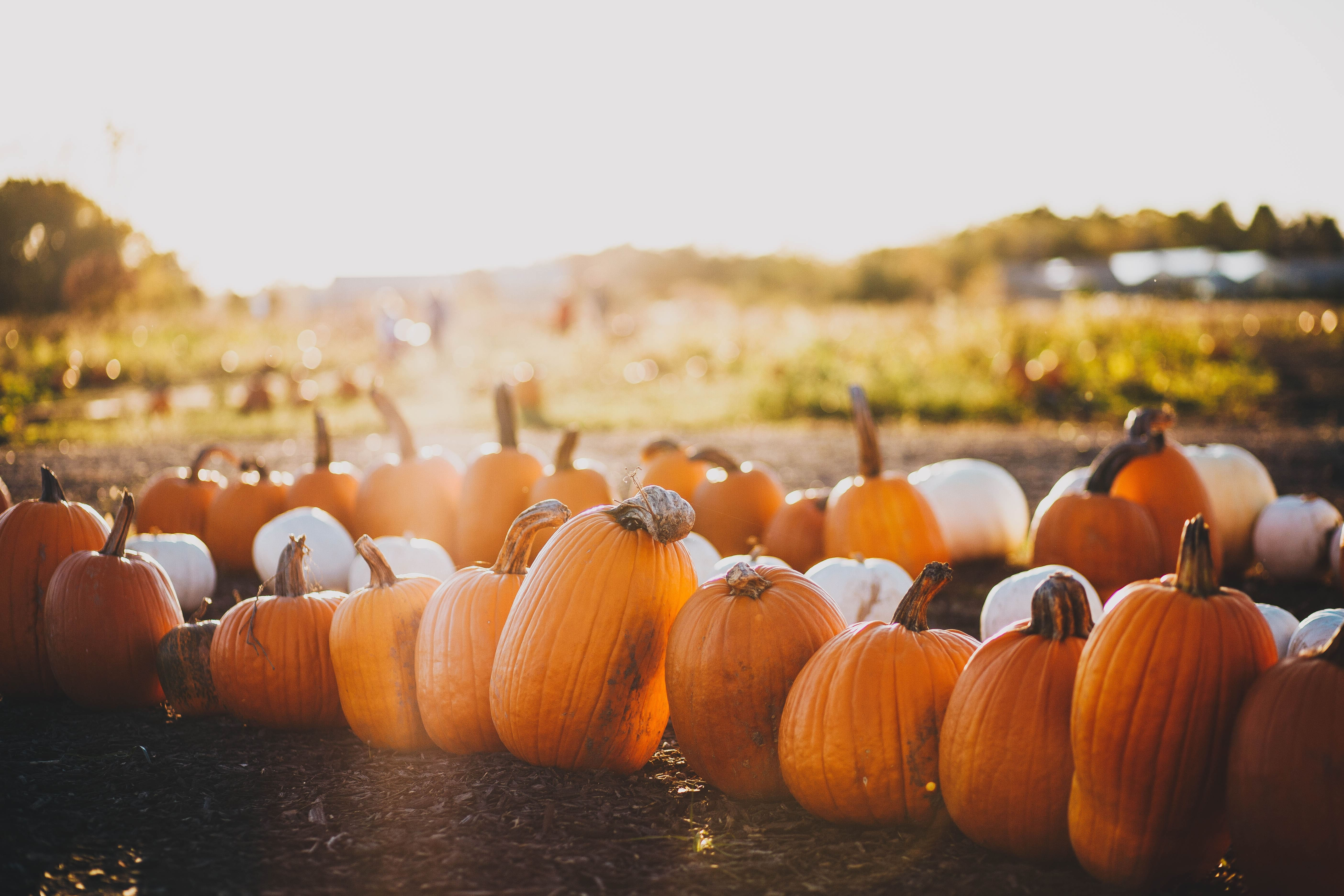 Pumpkin Patch Photo by Maddy Baker   unsplash
